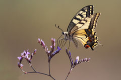 Papilio machaon, swallowtail butterfly. Beautiful swallowtail butterfly flying around pink flower Royalty Free Stock Images