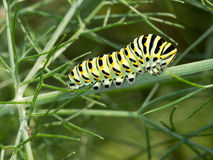 Papilio machaon, Swallowtail butterfly caterpillar, in fennel. Stock Photography
