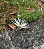 Iphiclides podarilius, Papilio machaon or swallowtail butterfly. Swallowtail butterfly almost hidden on the edge of the pavement, beautiful bug can not be royalty free stock photos