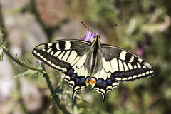 Papilio machaon, Swallowtail butterfly from Italy Stock Photo