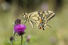 Papilio machaon, Swallowtail butterfly from Lower Saxony, Germany Royalty Free Stock Photos