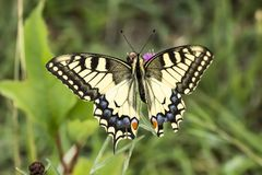 Papilio machaon, Swallowtail butterfly from Lower Saxony, Germany Royalty Free Stock Images