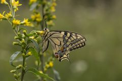Papilio machaon, Swallowtail butterfly from Lower Saxony, Germany Stock Images