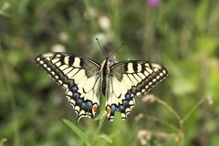 Papilio machaon, Swallowtail butterfly from Lower Saxony, Germany Royalty Free Stock Photography