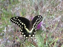 Papilio Machaon, Swallowtail Butterfly on Thistle Plant in Florida. Royalty Free Stock Images