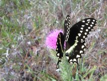 Papilio Machaon, Swallowtail Butterfly on Thistle Plant in Florida. Royalty Free Stock Photography