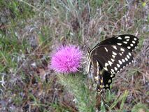 Papilio Machaon, Swallowtail Butterfly on Thistle Plant in Florida. Royalty Free Stock Photos