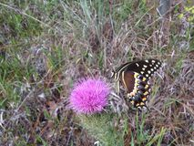 Papilio Machaon, Swallowtail Butterfly on Thistle Plant in Florida. Stock Photo