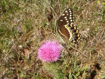 Papilio Machaon, Swallowtail Butterfly on Thistle Plant in Florida. Papilio Machaon, Swallowtail Butterfly on Thistle Plant in Florida in Summer royalty free stock photos