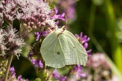 Papilio machaon, Swallowtail motyl od Niskiego Saxony, Niemcy Fotografia Stock