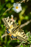 Papilio machaon - swallowtail Royalty Free Stock Images