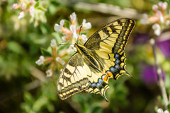 Papilio machaon - swallowtail Royalty Free Stock Photography