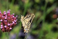 Papilio machaon voor de vlinder van de Koningin` s pagina met grote vleugelsspanwijdte aan 75 millimeter stock afbeelding