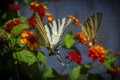 Papilio machaons Stock Image