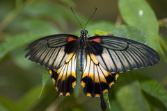 Papilio memnon. Exotic southern butterfly stock image
