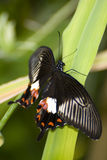 Papilio memnon. Exotic southern butterfly Royalty Free Stock Photo