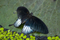 Papilio memnon. Exotic southern butterfly Stock Photos