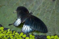 Papilio memnon Stock Photos