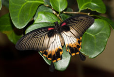 Papilio memnon, Great Mormon Stock Image