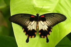 papilio motyla Zdjęcie Royalty Free