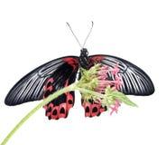 papilio motyli żeński rumanzovia Zdjęcia Royalty Free