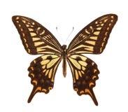 papilio motyli xuthus Fotografia Stock
