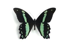 Papilio nireus Royalty Free Stock Photo