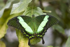 Papilio Palinurus Butterfly. Papilio Palinurus Butterfly with open wings royalty free stock photos