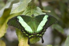 Papilio Palinurus Butterfly. Royalty Free Stock Photos