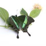 Papilio palinurus butterfly Stock Images