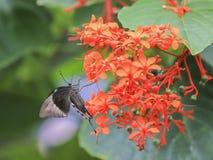 Papilio Palinurus Stock Photos