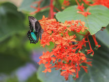 Papilio Palinurus Royalty Free Stock Image