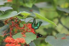 Papilio Palinurus Stock Images