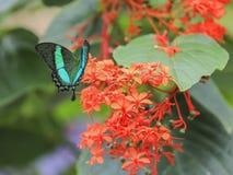 Papilio Palinurus Stock Image