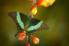 Papilio palinurus, Green swallowtail butterfly. Insect in the nature habitat, sitting in the green leaves, Indonesia, Asia. Wildlife scene from green forest royalty free stock images