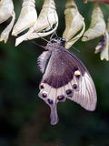 Papilio palinurus leaving chrysalis.Ventral view. Macro. Asian b Royalty Free Stock Photos