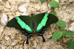 Papilio palinurusfjäril Arkivbilder