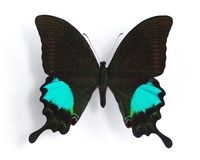 Papilio paris Royalty Free Stock Photo