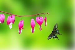 Papilio paris Royalty Free Stock Images