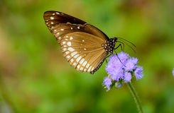 Papilio paris. Very rear Butterfly. name Papilio paris Stock Image