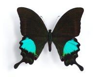 Papilio París Foto de archivo libre de regalías