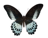 Papilio polymnestor Stock Photography