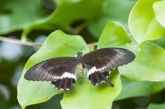 Papilio polytes Obraz Stock