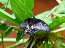 Papilio polytes Στοκ Φωτογραφίες