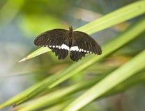 Papilio Polytes Basisrecheneinheit Lizenzfreies Stockfoto