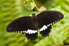 Papilio polytes, Gemeenschappelijke Mormoon Stock Foto's