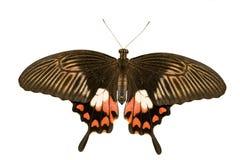 Papilio polytes isolated on white Royalty Free Stock Photo