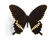 Papilio polytes (male) Royalty Free Stock Image