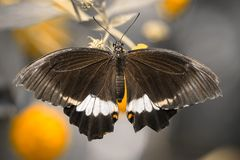 Papilio polytes male exotic butterfly. royalty free stock photo