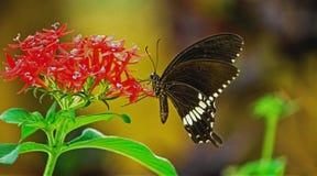 Papilio polytes pospolity mormonu obsiadanie na kwiacie zdjęcia stock